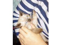 Ragdoll/Birman cross kittens looking for loving homes