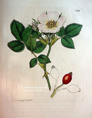 Sowerby Hunds-Rose Rosa dumetorum Kupferstich Copper engraving altkoloriert 1813