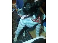2 year old male border collie for sale