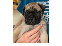 KC Registered Bullmastiff puppies