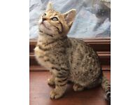 Beautiful Bengal x Kittens good Markins!