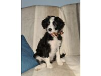 Beautiful Border Doodle Puppies for Sale