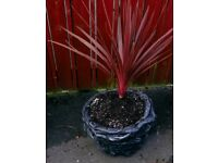 Unique Black Stone Planter + Cordyline Red Star Palm Plant
