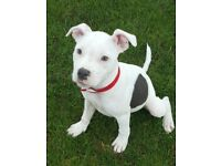 Blue Staffy For Sale : Blue staffy dogs puppies for sale gumtree