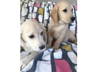 Labrador in Scotland | Dogs & Puppies for Sale - Gumtree