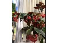 ANGEL WINGED CANE BEGONIA EASY HOUSE PLANT PINK BLOOMS BEAUTIFUL LEAVES in pot