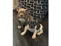 American bully puppies lilac tri carriers french bulldog staffy