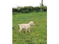 Pedigree Labrador Pups for sale golden bitches, black male & female