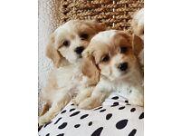 Lovely Cavachon Puppies