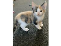 Maine coon   Cats & Kittens for Sale - Gumtree