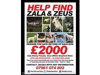 STOLEN, WHITE GERMAN SHEPHERD (ZEUS, MALE)) & HUSKY (ZALA, BLACK & WHITE, FEMALE)