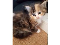 Gorgeous kittens for sale mother is half maine coon