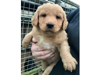 Black/Red fox Labrador puppies ready now