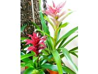 Bromeliad Houseplant