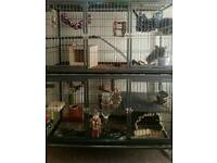 Pair of male chinchillas,tame with large cage and accessories