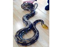 Citron tiger reticulated Python