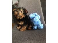 Loving Yorkshire terriers Dogs Puppies