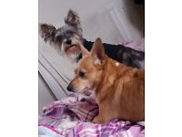 My boys need rehoming together! Yorkie and a Corgi cross
