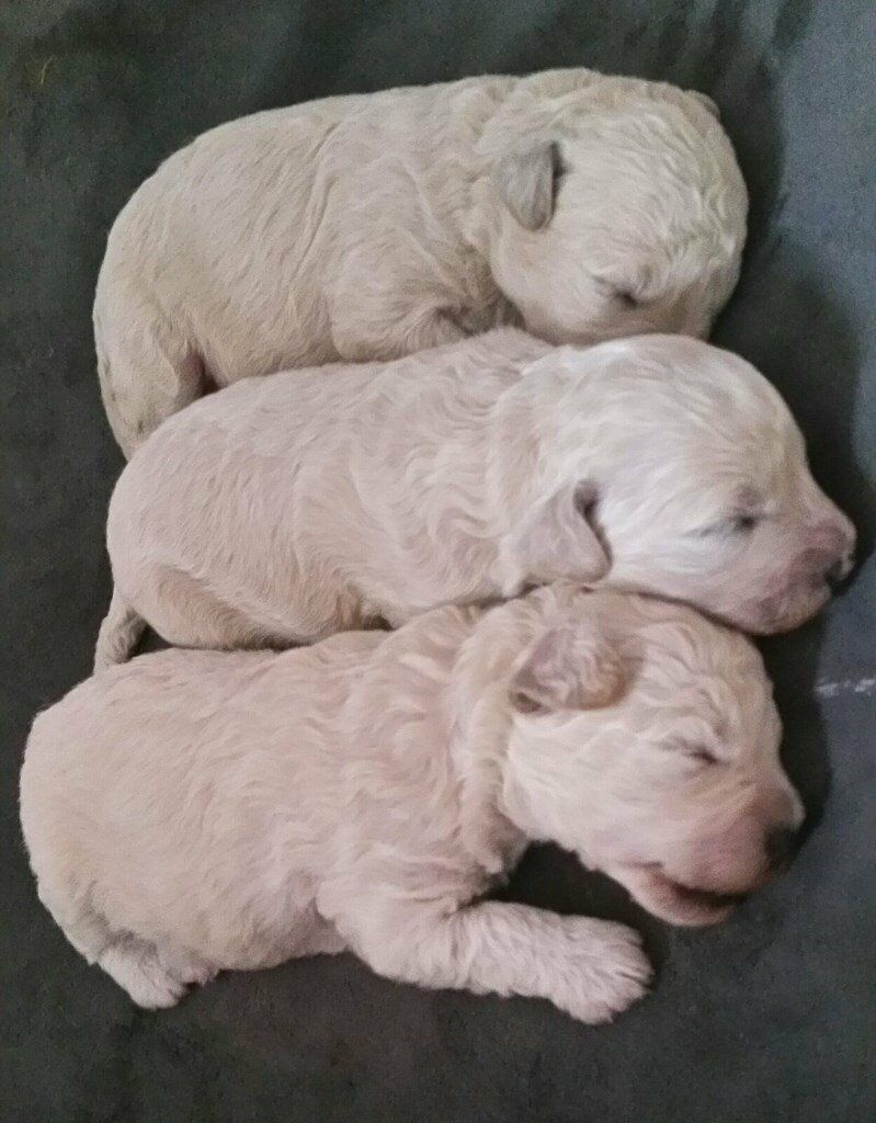 3 Male Apricot and cream poochon puppies for sale