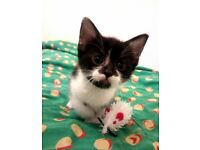 Very pretty black and white ,and Calcio,ginger kittens!!!