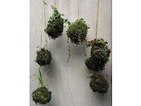 Hanging garden balls - based on Japanese kokedamas