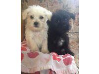 2 jack Russell X laparatsu boy puppies