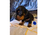 Dachshund puppies looking for their forever home.
