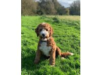Red Australian Labradoodle pups - Highest quality