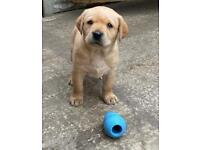 Outstanding Labrador Pups