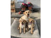 2 x Gorgeous IKC Registered Labrador Pups