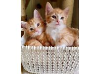 Half Maine Coon 8 week old kittens! Ready to go NOW!