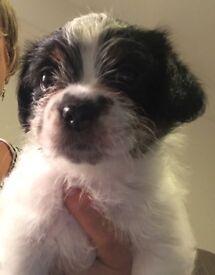 X breed pups shihtzu/Jack/Yorki/Chihuahua
