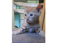 Beautiful GINGER KITTEN still available until advert is gone
