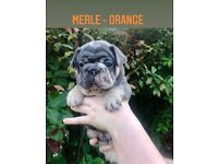 5 outstanding male french bulldog puppies