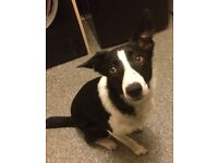8 month old short haired border collie free to good home