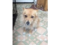 """Pax"" Pomeranian x yorkie 3 years old for sale"