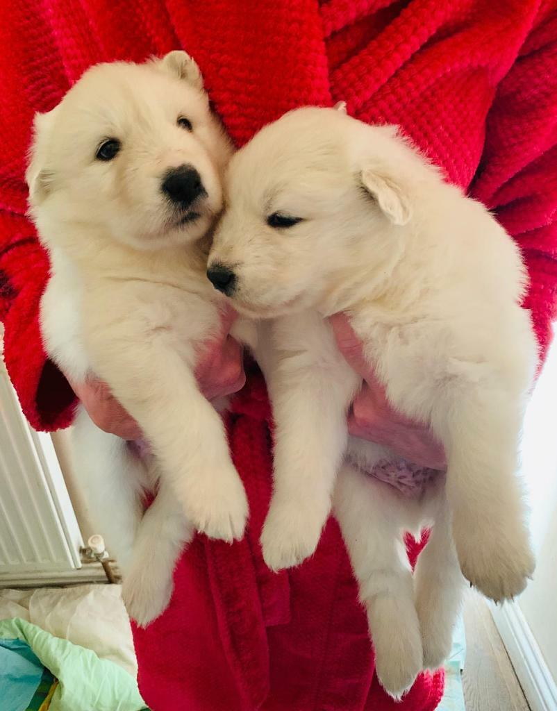 Samoyed Puppies | in Wakefield, West Yorkshire | Gumtree