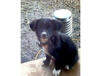 Gorgeous labracollie Labrador cross collie male puppy needs a forever home. Last one!