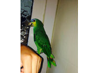 Tame +Talking Orange Winged Amazon Parrot! Cute + Friendly!