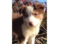Really Cute n' Cuddly Long Haired Red & White Border Collie Puppy GIRL pup (Both injections)