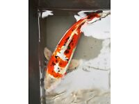 Japanese Koi carp for sale. Established pond closure