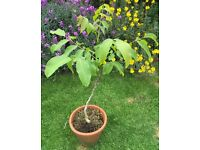 Walnut tree / sapling