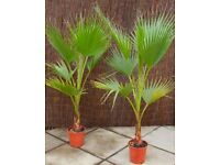 EXOTIC PALM TREES GARDEN OR HOUSE PLANTS...GREAT IN PATIO POTS OR PLANT IN THE GARDEN £29 each.....