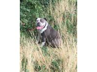Olde english bulldog | Dogs & Puppies for Sale - Gumtree