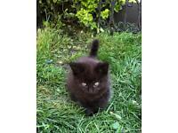 Black and brown fluffy girl kitten for sale