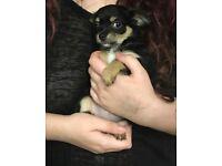 Beautiful little chihuahua female puppy