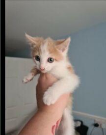 Light Ginger kitten ready for a new home