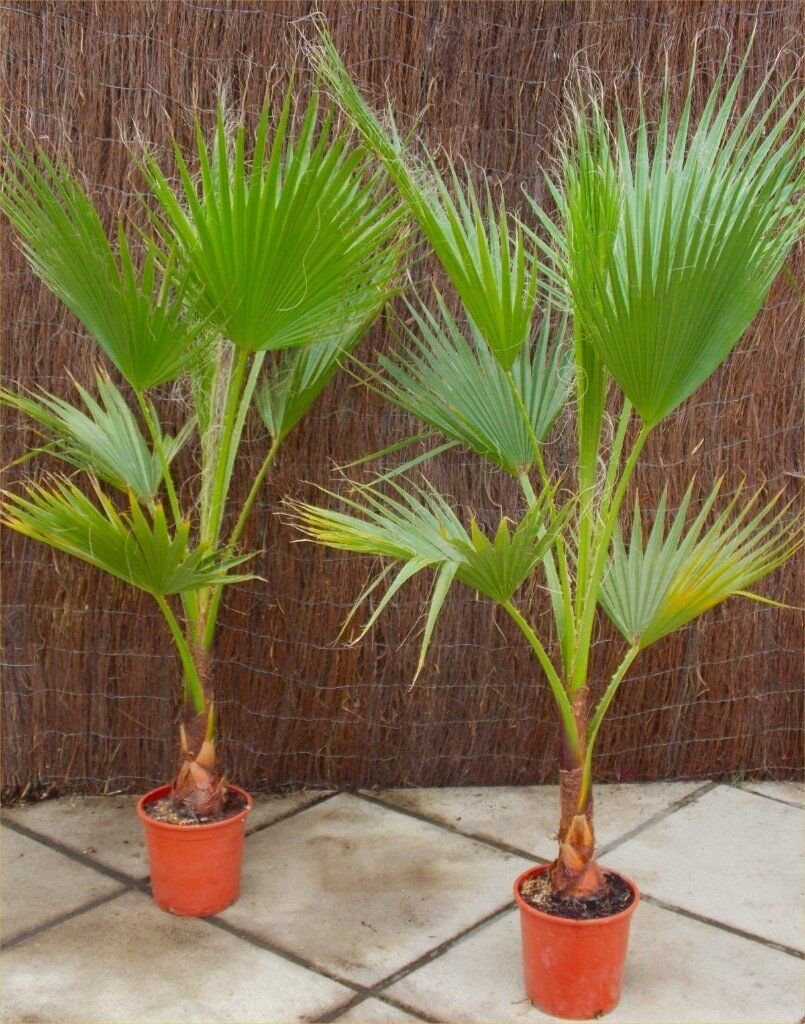 Lovely EXOTIC HARDY PALM TREES OVER 1M+ HIGH [ONLY 2 LEFT ] GREAT IN PATIO POT