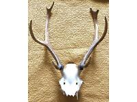 Deer head/skull antlers horns (Taxidermy) £50