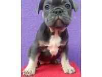 Beautiful French bulldog puppy blue tan girl